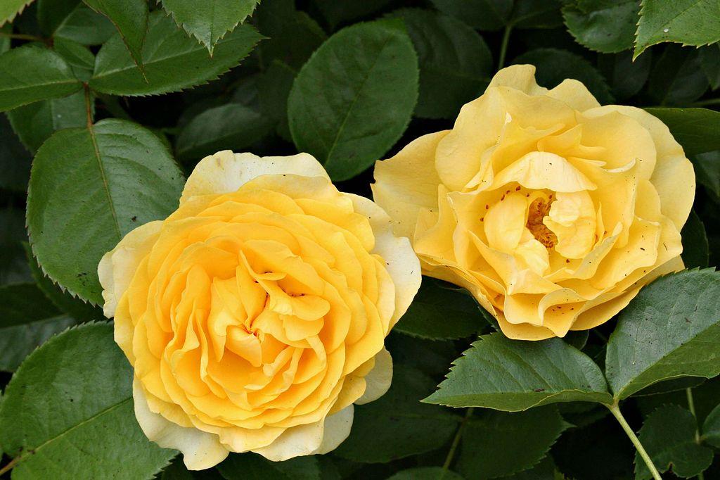 Julia-Rose